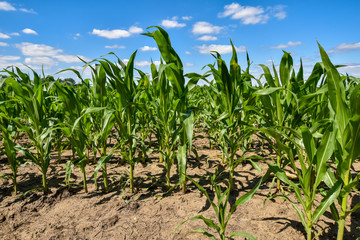 Corn, which has grown poorly due to the drought under blue sky