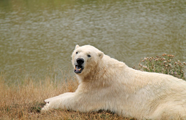A Beautiful Adult Polar Bear Showing off its Teeth.