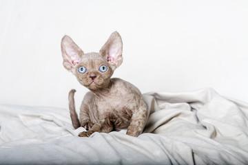 Chocolate Devon Rex Kitten