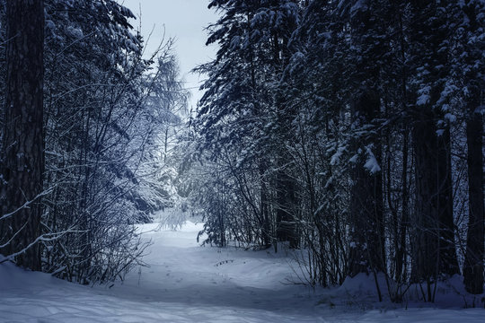 Mysterious winter forest in dark blue colored forest.