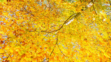 fall yellow cherry tree in autumn park at sunny day banner