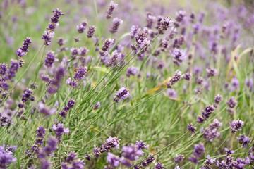 Lavender flower. Slovakia
