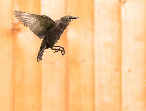 young starling on flight