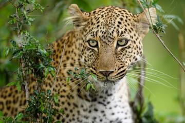Leopard (Panthera pardus) hiding in bush, Masai Mara, Kenya, Africa