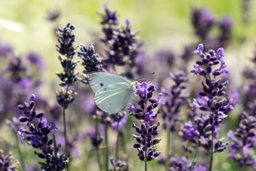 Buttefly on lavender flower. Slovakia