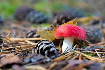 Closeup of a toadstool in natural environment