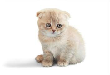 Scottish Fold Kitten Sitting