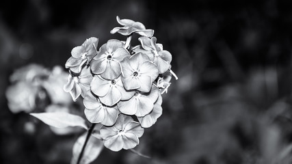 Beautiful detail of flowering fall phlox in black and white. Phlox paniculata. Melancholic close-up of a blossoming ornamental plant in garden. Dark sad floral background, copy space. Selective focus.