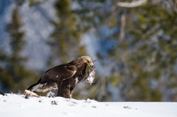 Golden eagle (Aquila chrysaetos) with kill, in Telemark, Norway