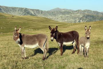 Donkeys on the mountain