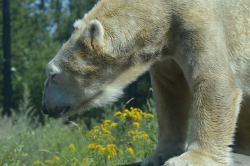 Polar bear in the outdoors during summer