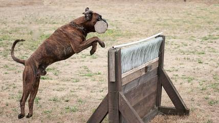 gestromter Boxer beim Apportieren über eine Hürde