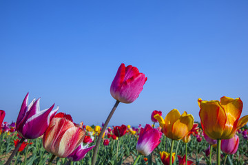 field with blooming colorful tulips