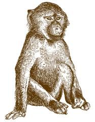 engraving illustration of baboon cub