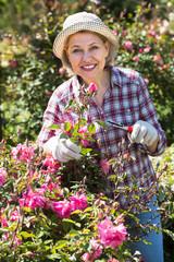 Elderly woman gardening pink roses .
