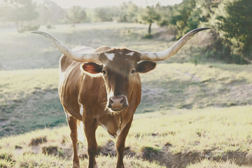 Wall Mural - Texas Longhorn cow on cattle ranch.