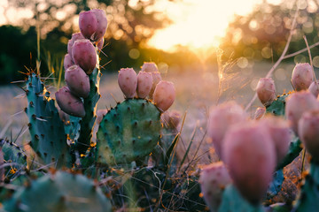 Wall Murals Cactus Cactus in bloom during Texas rural summer sunset.