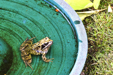 Young frog in bird bath