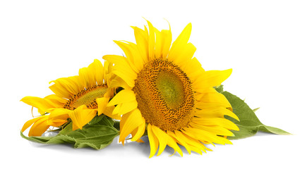 Beautiful sunflowers with leaves on white background