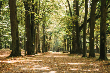 Empty beautiful alley with big trees in an autumn sunny forest with yellow leaves