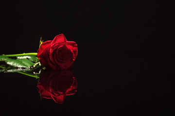 Beautiful red rose on black background. Funeral symbol