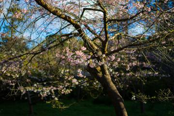 cherry blossom before April