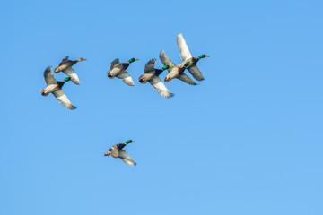 Flying drakes in blue sky Wall mural