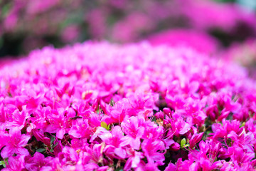 Flowers in Japanese Tea Garden