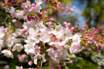 cherry blossoms in March