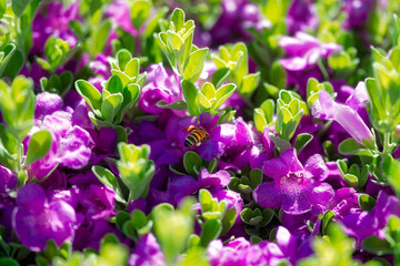 Bee pollinating green shrub with purple flowers abstract background