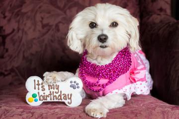 Small dog celebrating birthday