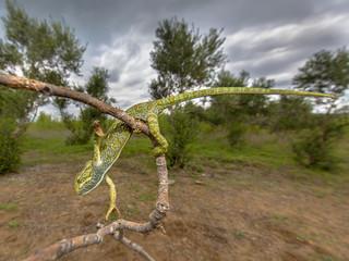 African chameleon climbing in habitat
