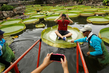 A man poses for a photo on a giant waterlily leaf during an annual leaf-sitting event in Taipei