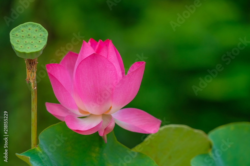 Royalty High Quality Free Stock Image Of A Pink Lotus Flower The