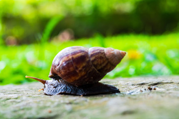 close up of snail, curious snail crawling for food on stone pathway with green field background, in upcountry forest, Thailand.