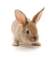 Red baby rabbit.