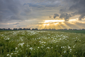 Wall Mural - Dutch countryside with white daisy flowers