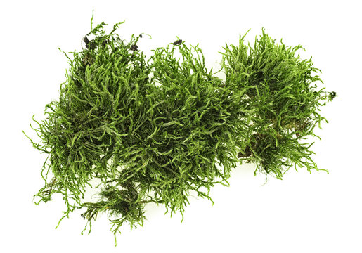 Green moss on white background, top view.