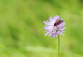 Forest fly with red dots on the wings sitting on a flower
