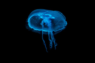 Jellyfish floating in a water Wall mural