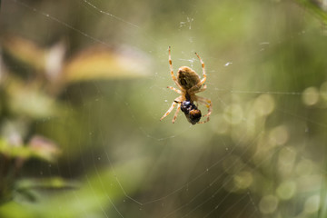 Isolated spider on spidernet with its prey