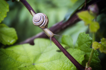 the snail after the rain creeps in flowers and trees and drinks water in the garden among the green vegetation