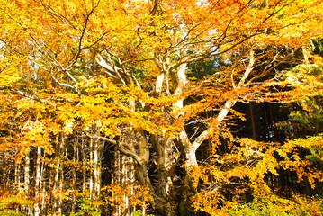Old beech in autumn