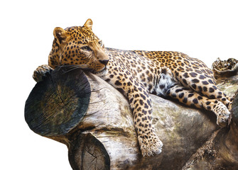 Jaguar isolated on a log