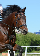 Portrait of a sport horse jumping through hurdle on blue sky background