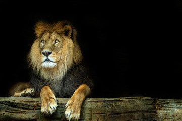 Lion. Lion sitting on a rock