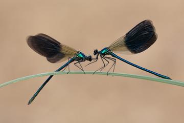 Damigella (Calopteryx virgo)