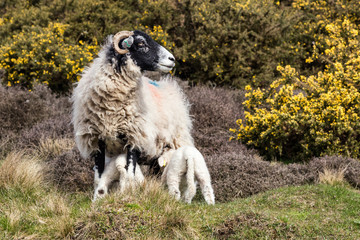 A Swaledale Sheep and its lambs at Hutton le Hole on the North York moors