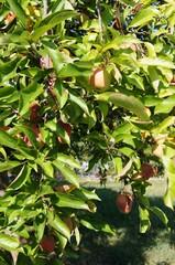 Alte Apfelsorten,apfel, green, natur, obst, blatt, garden, rot, baum, essen, ast, blume, beere, frisch, reif, wachsen, ackerbau, sommer, gemüse, frühling, auflösungszeichen, gesund,
