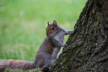 A squirrel leaning on the tree trunk with green natural background